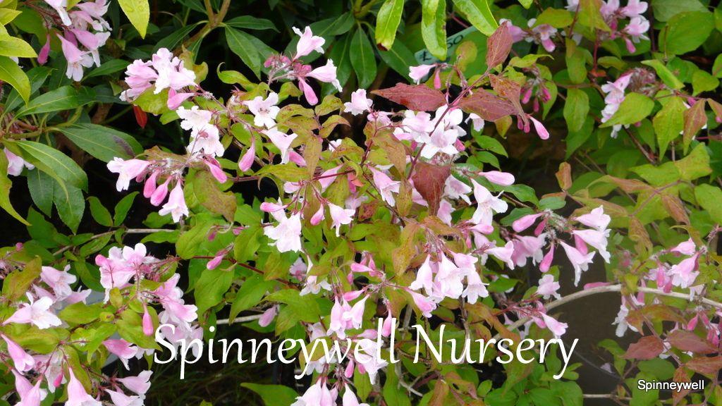 Abelia Grandiflora 3l