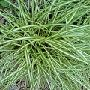 Carex oshimensis 'Evergold'  2L