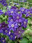 Clematis 'Happy Birthday'  4LD