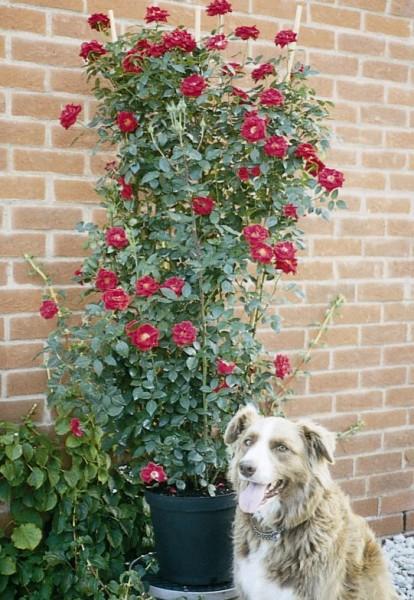 Clg Patio Rose Love Knot 9cm Pot